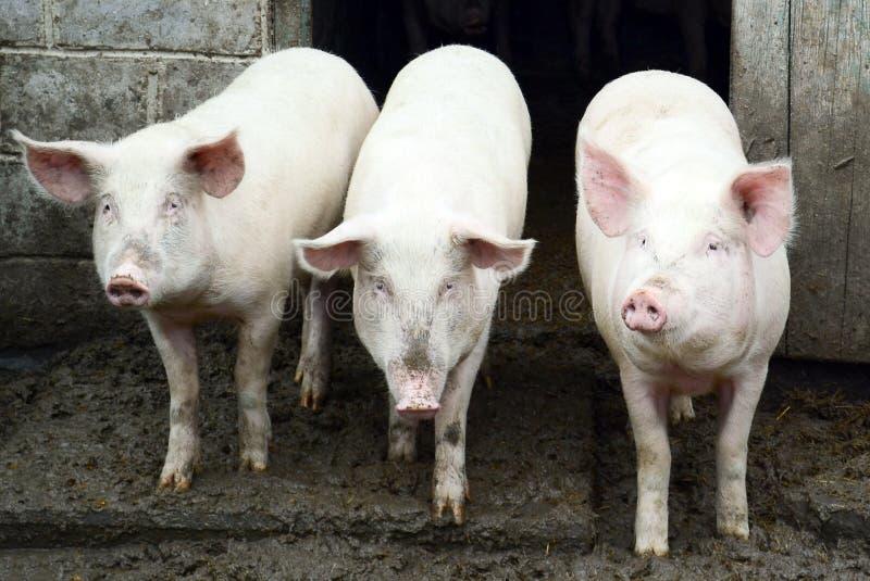 Trzy świni fotografia royalty free