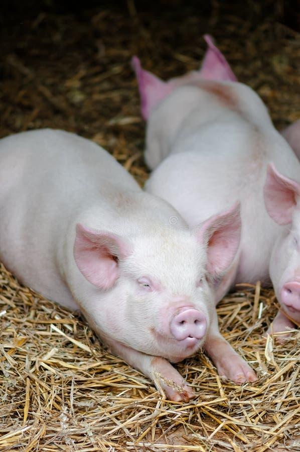Trzy świni chlewni śpi odpoczywać na słomie w uprawiają ziemię kram zdjęcie stock