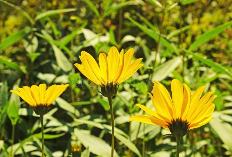 Trzy żółtego okwitnięcia w ogródzie obrazy royalty free