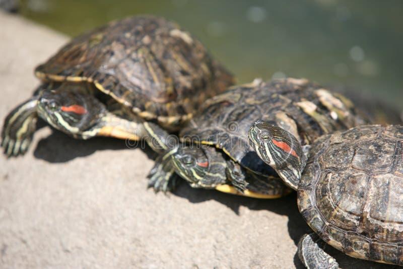 trzy żółwia fotografia royalty free