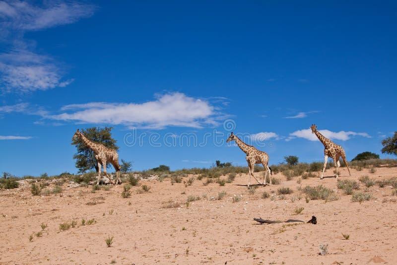 Trzy żyraf odprowadzenie w pustynnym suszy krajobraz zdjęcie royalty free