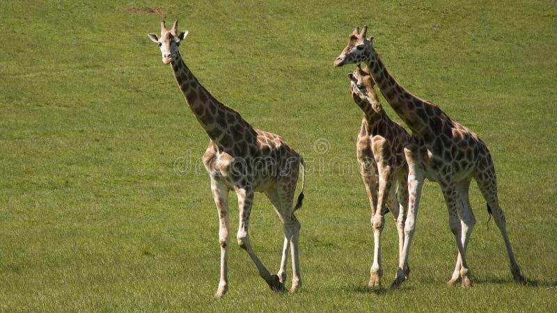 Trzy żyraf spacer zdjęcia royalty free