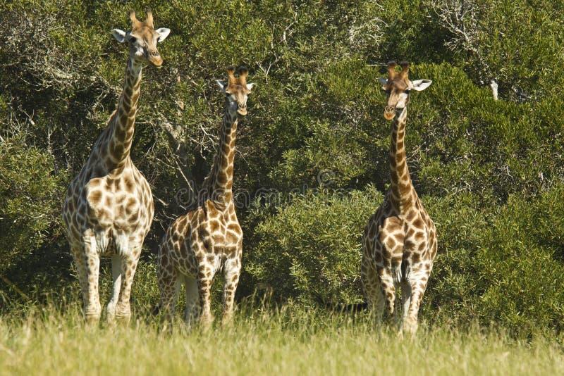 Trzy żyrafa obraz royalty free