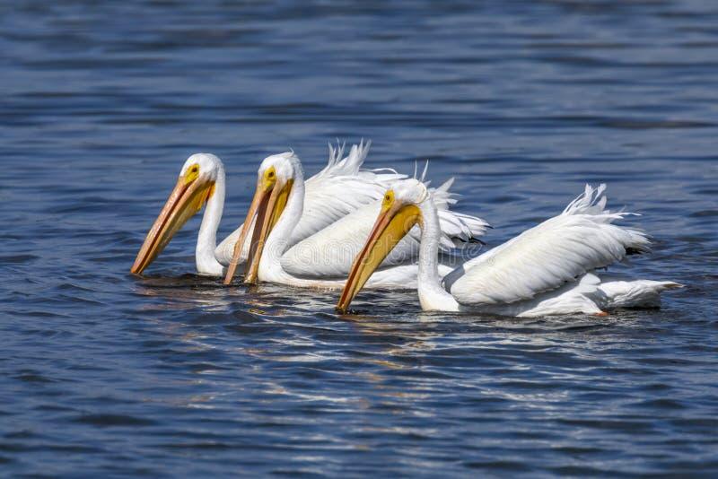 Trzy Amerykańskiego Białego pelikana - Sanibel wyspa, Floryda obrazy royalty free