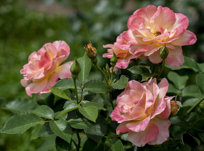 Trzy ampuły rozwijającej się wzrastał kwiaty miękkich części menchii kolor na róża krzakach zdjęcie royalty free