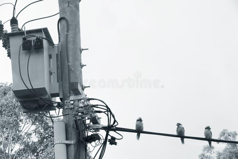 Trzy australijczyka Kookaburra ` s na liniach energetycznych czerń & biel fotografia stock