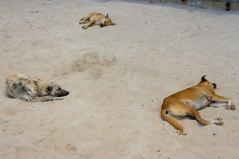 Trzy bezdomnego psa na plaży Spać psy na dennym wybrzeżu, Azja Uroczy zmęczeni zwierzęta domowe na gorącym letnim dniu zdjęcie stock