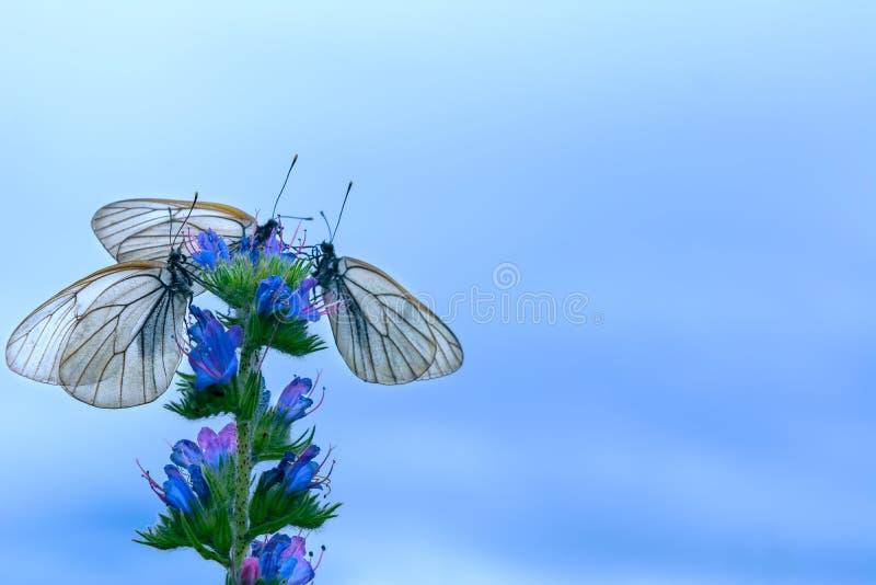 Trzy białego motyla na kwiacie na niebieskiego nieba tle obraz stock