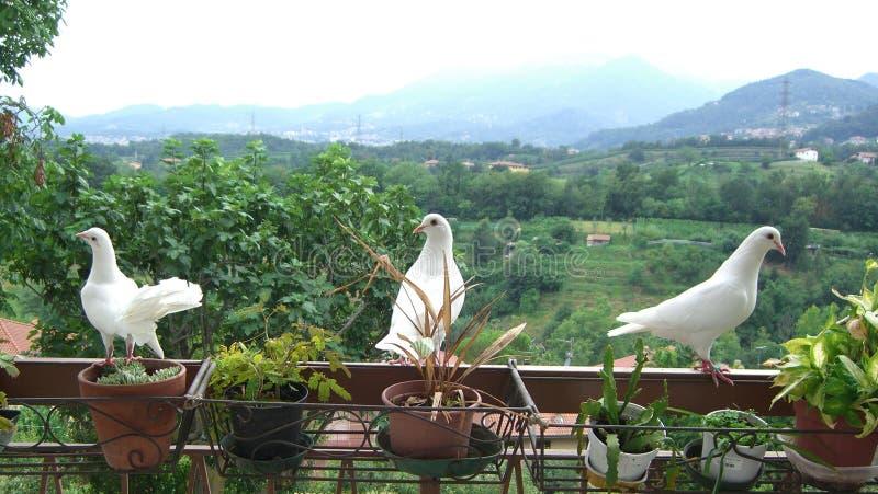 Trzy białej gołąbki na balkonie fotografia royalty free