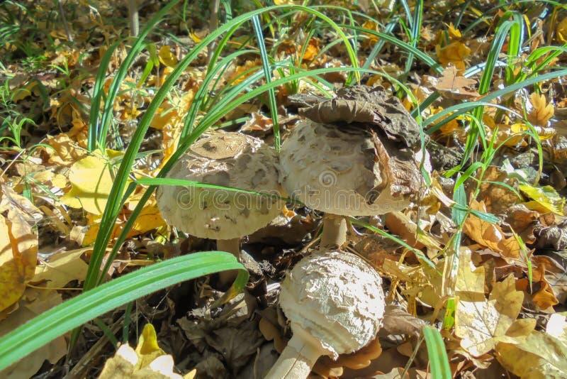 Trzy biel amanita w lesie wśród trawy i ulistnienia zdjęcie royalty free