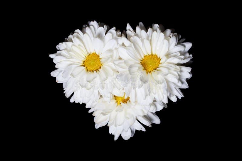 Trzy biel chryzantemy kwiatu z koloru żółtego centrum Odizolowywającym na Czarnym tle obrazy stock