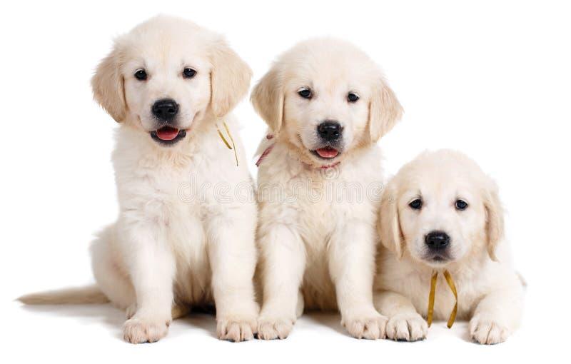 Trzy biel labradora szczeniak na białym tle fotografia stock