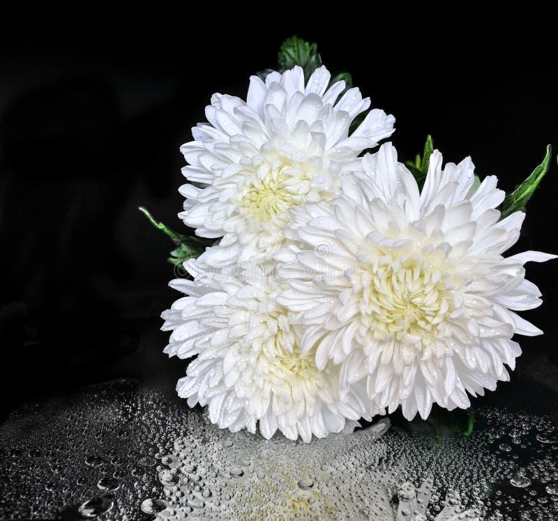 Trzy biel rosy chryzantema kwitnie na czarnym tle z odbiciem fotografia royalty free