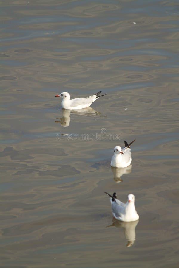 Trzy biel seagull ostrości pierwszoplanowy miękki unosić się zdjęcie royalty free