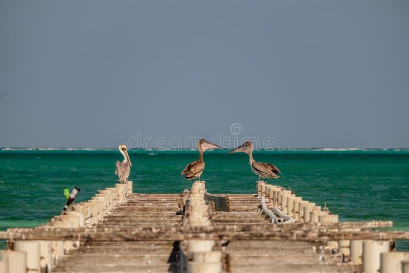 Trzy brown pelikana na starym molu fotografia stock
