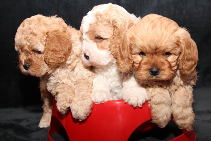 Trzy Cavoodle szczeniaka siedzi w czerwonym pucharze zdjęcia stock