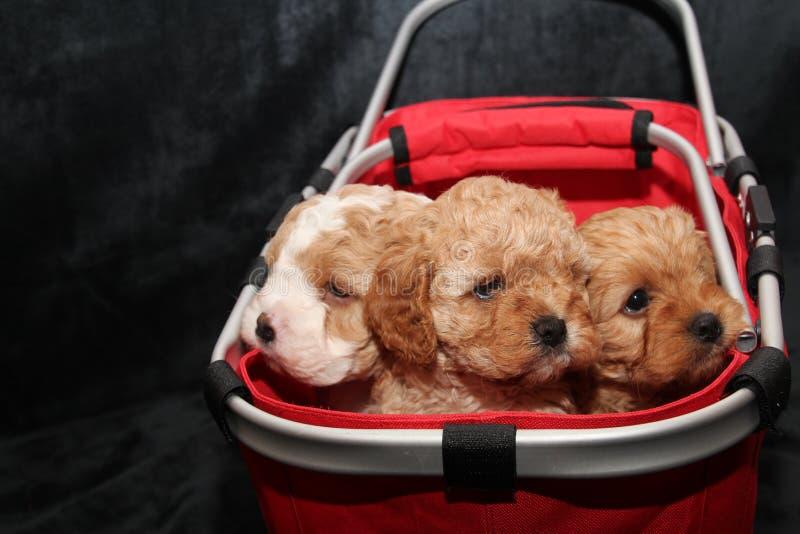 Trzy Cavoodle szczeniaka w koszu fotografia stock