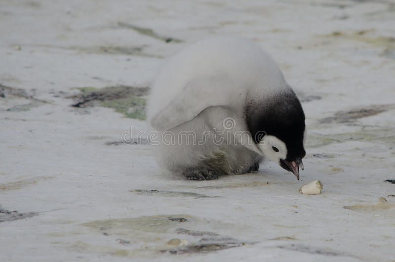 Download Trzy Cesarza Pingwinu Pisklęcy Dzióbać Zdjęcie Stock - Obraz złożonej z osamotniony, ptaki: 57674840