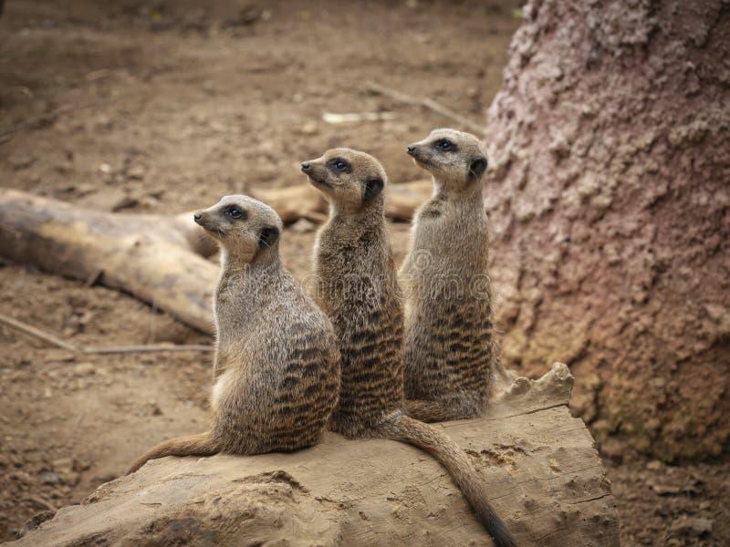 Trzy ciekawski Meerkats pokazuje interes w zakłócenie spokoju obraz stock