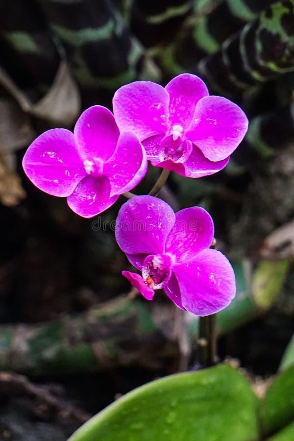 Trzy ciemnowiśniowy kwiat w tropikalnym lesie deszczowym obrazy royalty free