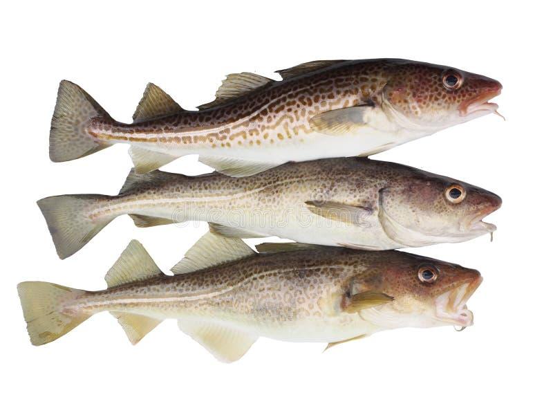 Trzy codfish fotografia stock