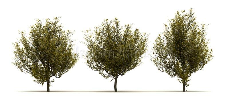 Trzy Cornus Mas drzewo royalty ilustracja