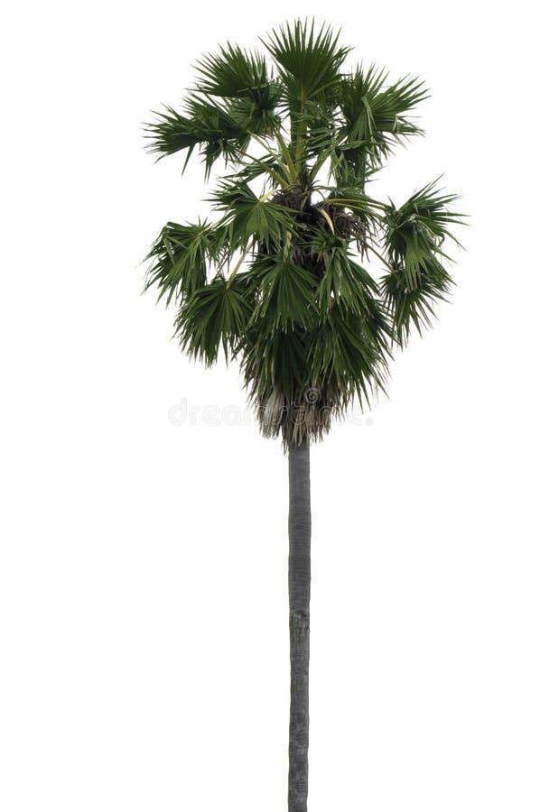 Trzy cukrowa palma odizolowywa tło obraz royalty free