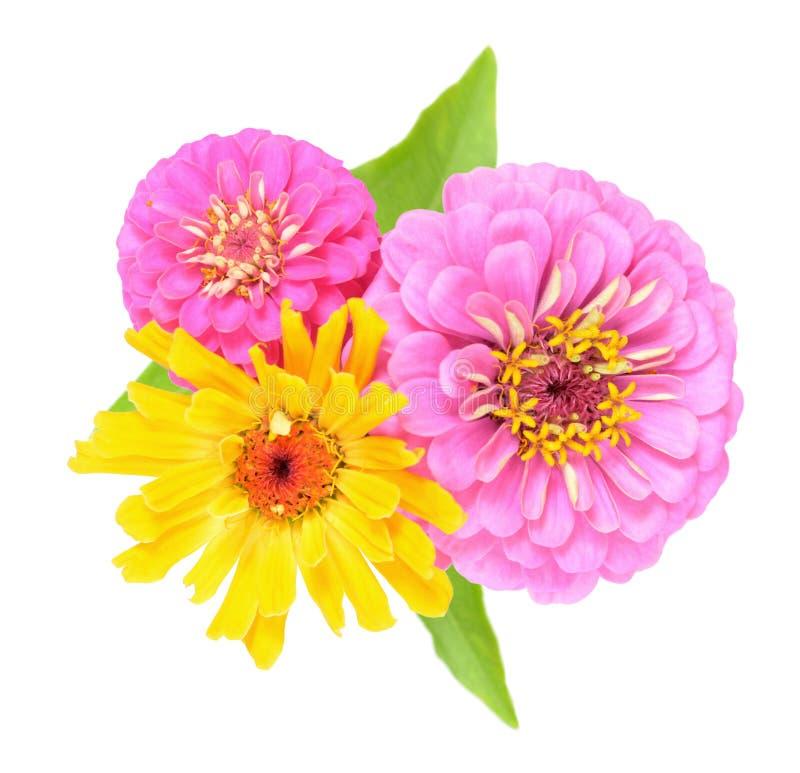 Trzy cyni kwiat zdjęcie royalty free