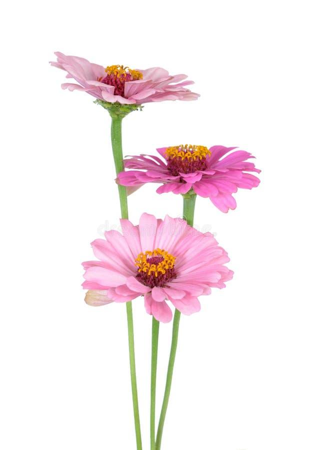 Trzy cynia kwiatu zdjęcia royalty free