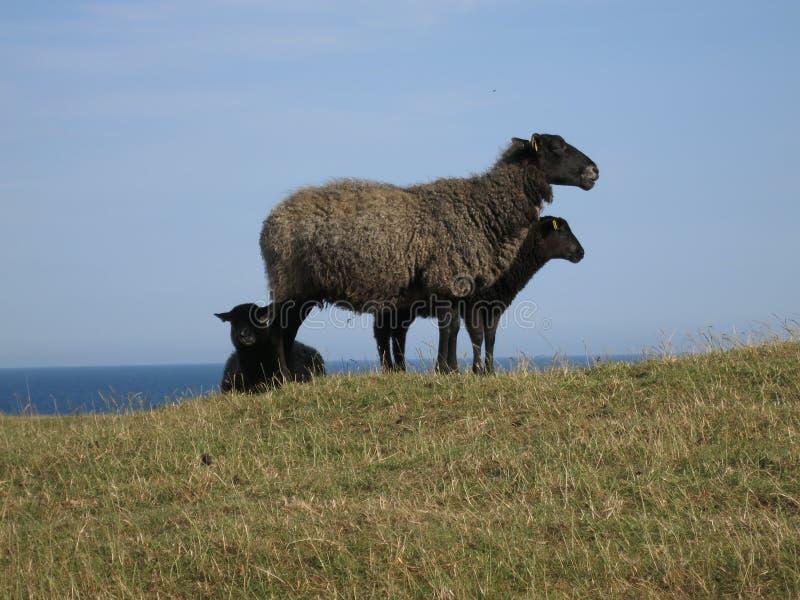 Trzy czarnego cakla jeden ewe i trzy baranka na wzgórzu z morzem w tle, obrazy stock