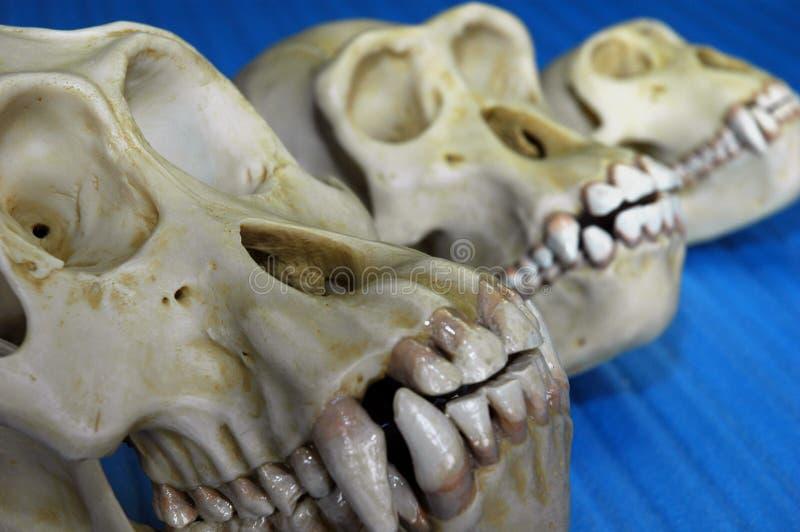 trzy czaszki zwierząt. zdjęcie stock