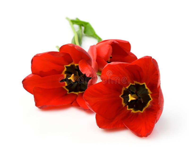 Download Trzy czerwone tulipany zdjęcie stock. Obraz złożonej z nikt - 53779782