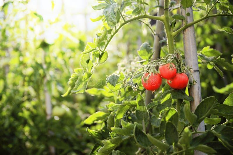 Trzy czerwonego dojrzałego pomidoru wiesza na gałąź zielona roślina w sadzie Słońca światło przy zmierzchu czasem obraz stock