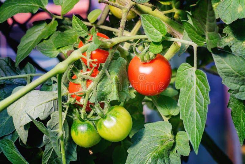 Trzy czerwonego i zielonych dwa pomidoru na gałąź zdjęcie royalty free