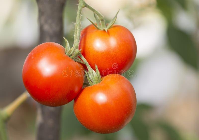 Trzy czerwonego pomidoru na gałąź fotografia stock