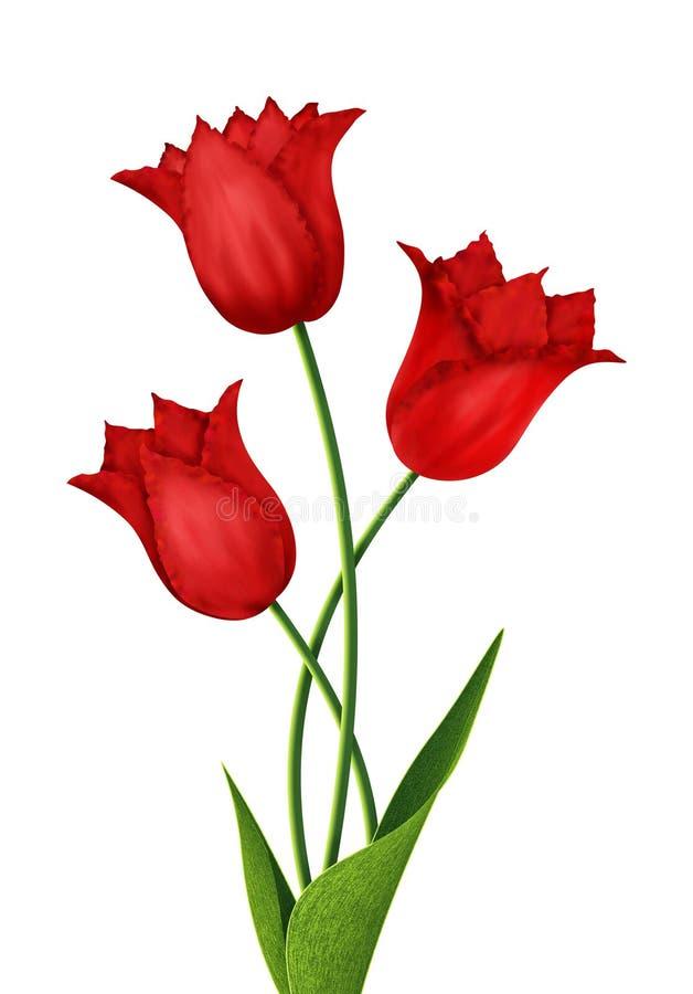 Trzy czerwonego tulipanu odizolowywającego na białym tle ilustracji