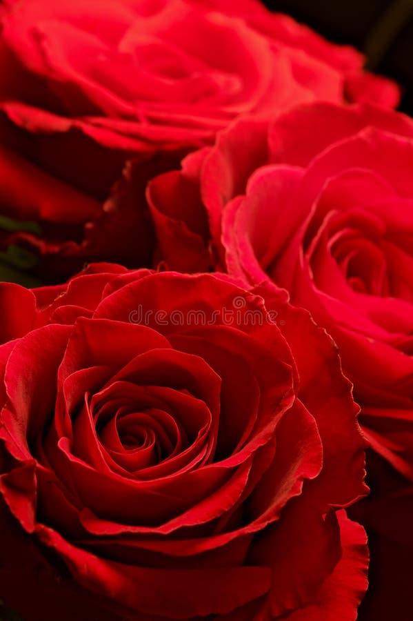 Trzy czerwonej róży fotografia stock