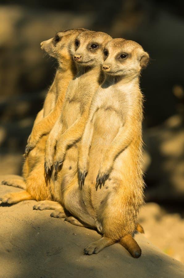 Trzy czujnego meerkats stoi strażnika przy rankiem zdjęcia royalty free
