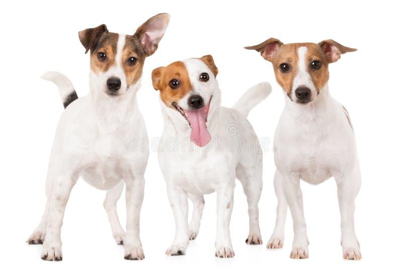 Trzy dźwigarki Russell teriera psa wpólnie na bielu zdjęcie stock