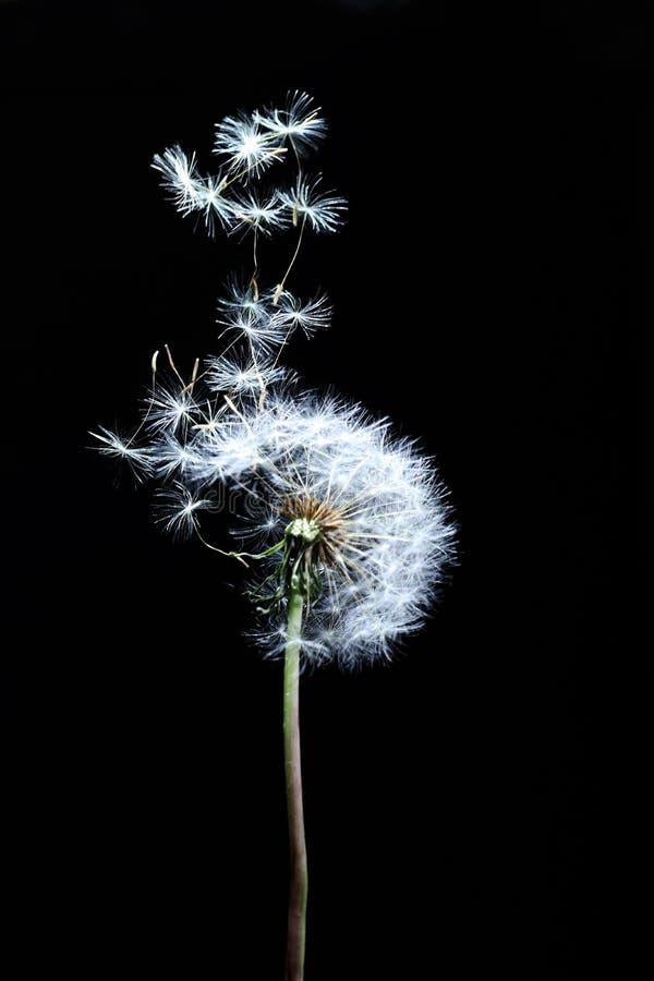 Trzy dandelion Dekoracyjny wiatr obraz royalty free
