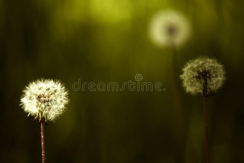 trzy dandelion na zielonym tle z bokeh zdjęcie royalty free