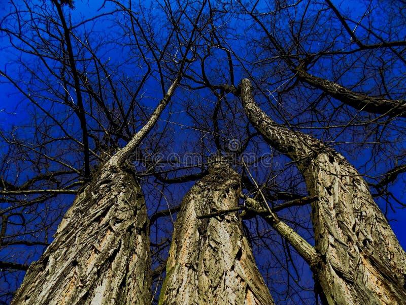 trzy drzewa fotografia stock