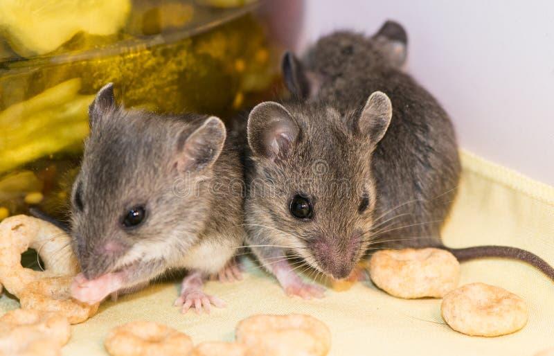 Trzy dziecko domowej myszy, Mus musculus, wiszący za dobrze zaopatrującym spiżarnianym kuchennym gabinecie wewnątrz zdjęcia royalty free