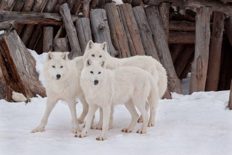 Trzy dzika alaska tundra wolfs bawić się na białym śniegu Canis lupus arctos Biegunowy wilk lub biały wilk zdjęcia stock