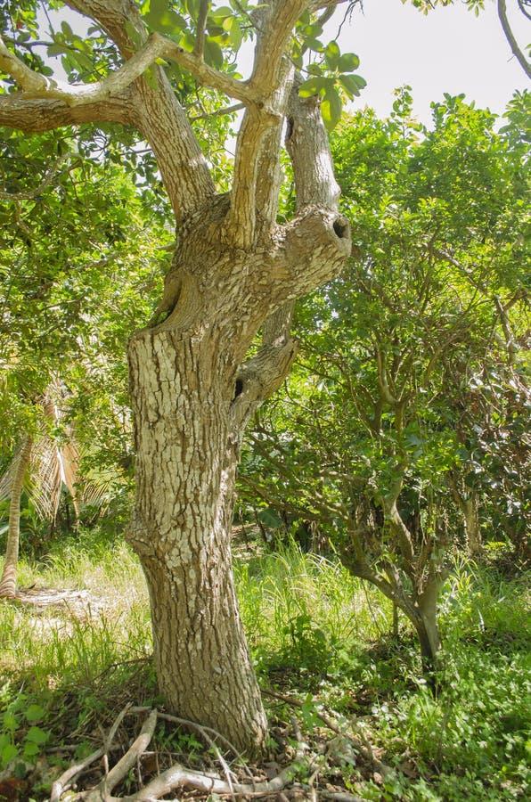Trzy dziury wydrążenie Piękny Avocado drzewo fotografia stock