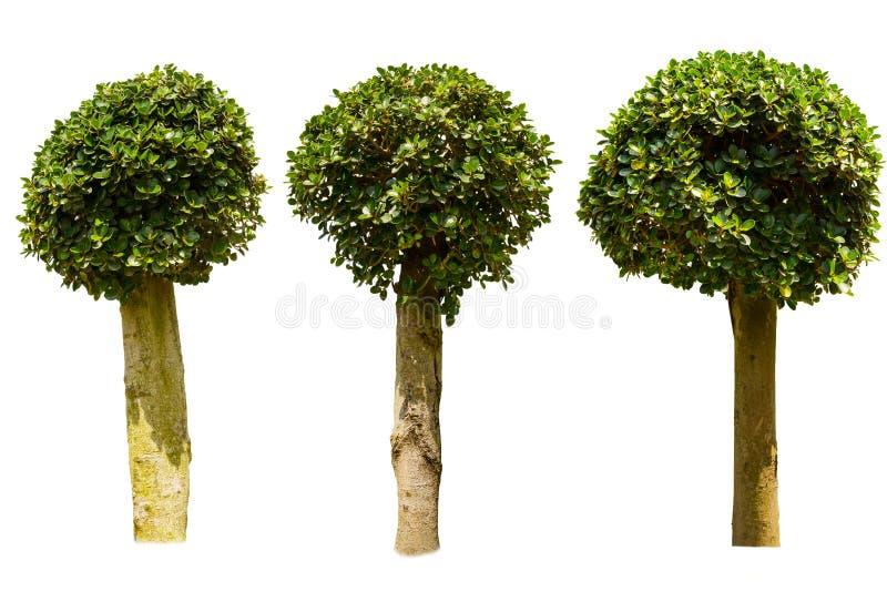 Trzy ficus drzewo zdjęcie stock