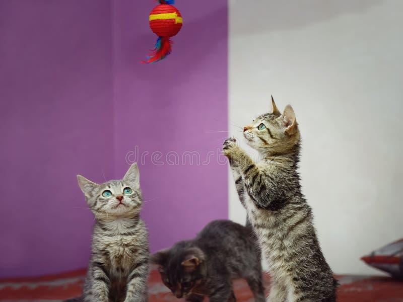 Trzy figlarek kundlowata domowa sztuka z zabawką fotografia stock