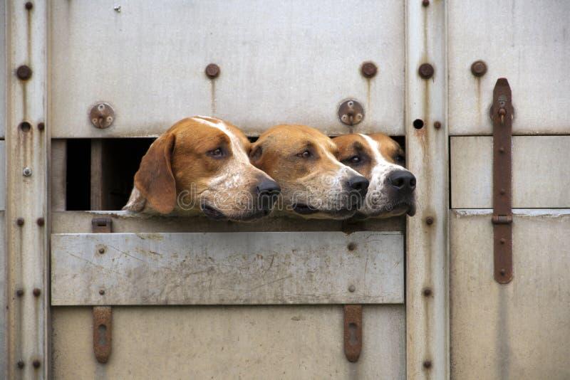 Trzy foxhounds obraz royalty free