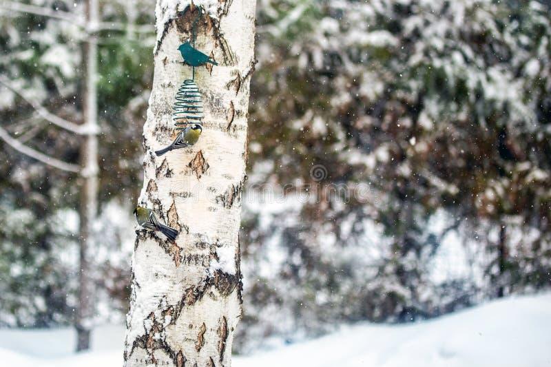 Trzy głodnego titmouse ptaka je od dozownika wieszali na brzozy drzewie Karmić przy ciężkim opadem śniegu Opieka o dzikich zwierz obrazy royalty free