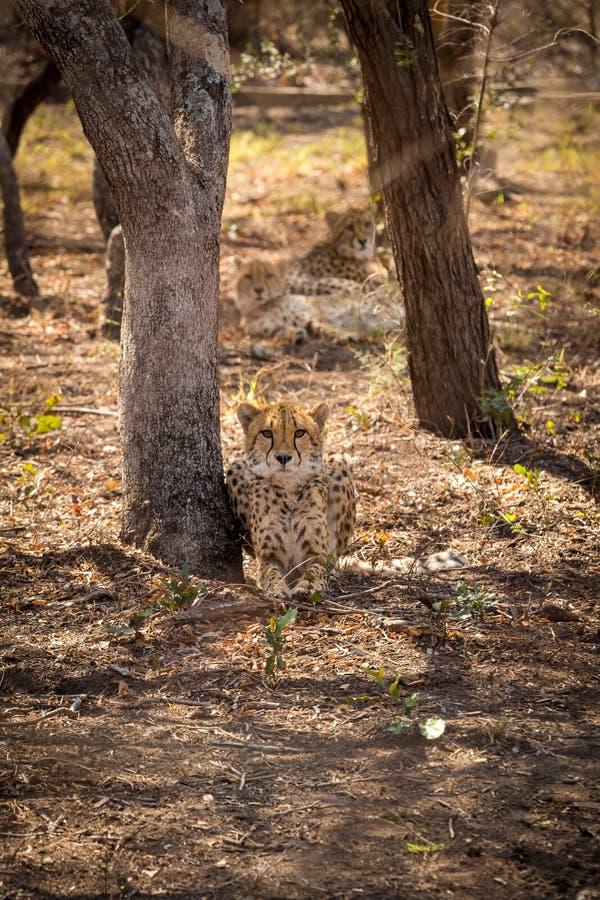 Trzy geparda Kłama pod drzewami obraz stock